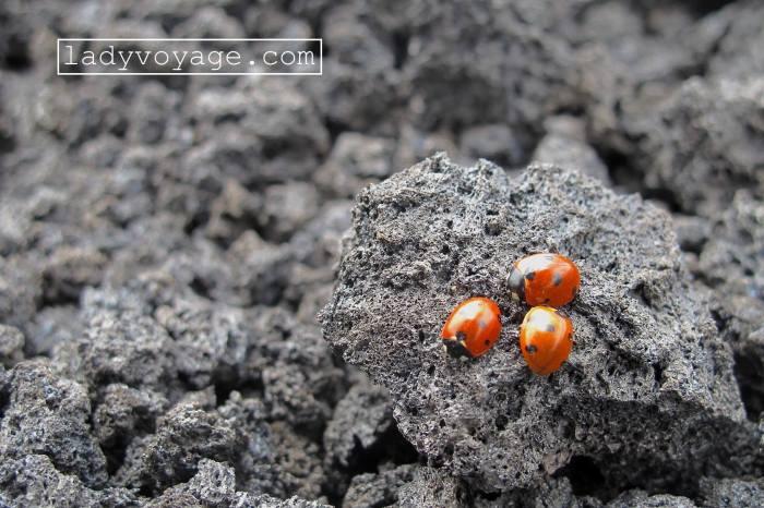 Ladybugs on Etna volcano, Sicily, Italy